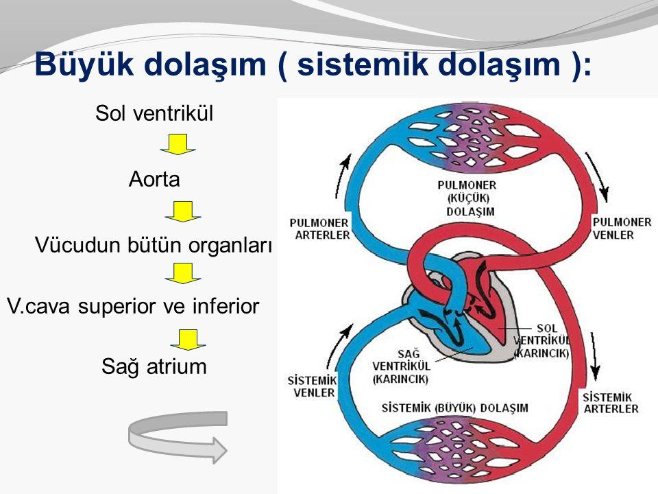 Büyük dolaşım ( sistemik dolaşım ): Sol ventrikül Aorta Vücudun bütün organları V.cava superior ve inferior Sağ atrium