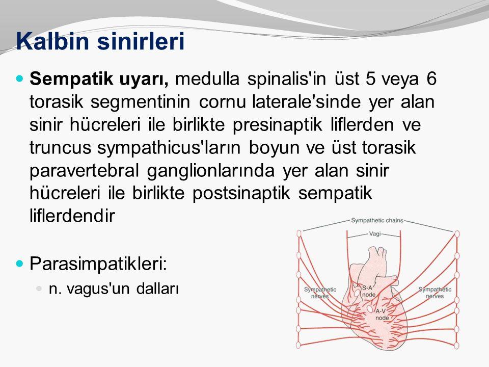 Kalbin sinirleri Sempatik uyarı, medulla spinalis'in üst 5 veya 6 torasik segmentinin cornu laterale'sinde yer alan sinir hücreleri ile birlikte presi