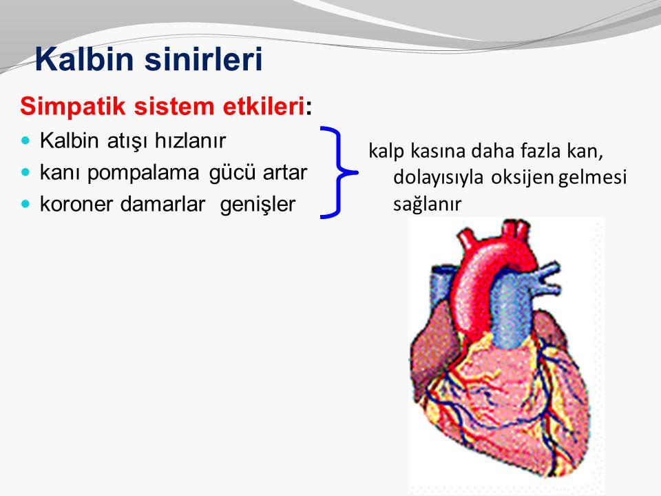 Kalbin sinirleri Simpatik sistem etkileri: Kalbin atışı hızlanır kanı pompalama gücü artar koroner damarlar genişler kalp kasına daha fazla kan, dolay