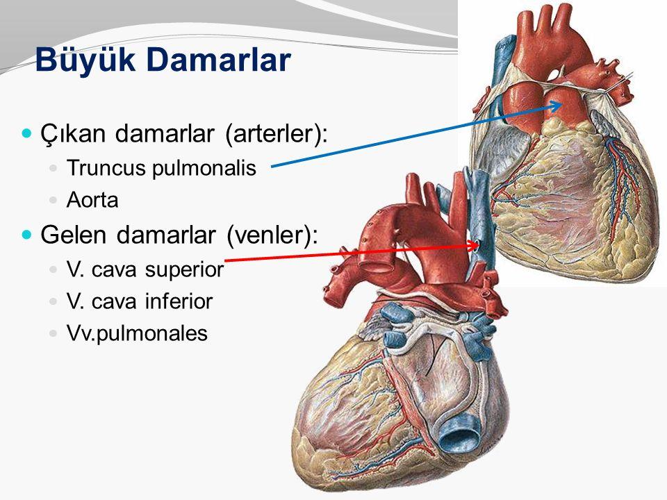 Büyük Damarlar Çıkan damarlar (arterler): Truncus pulmonalis Aorta Gelen damarlar (venler): V. cava superior V. cava inferior Vv.pulmonales