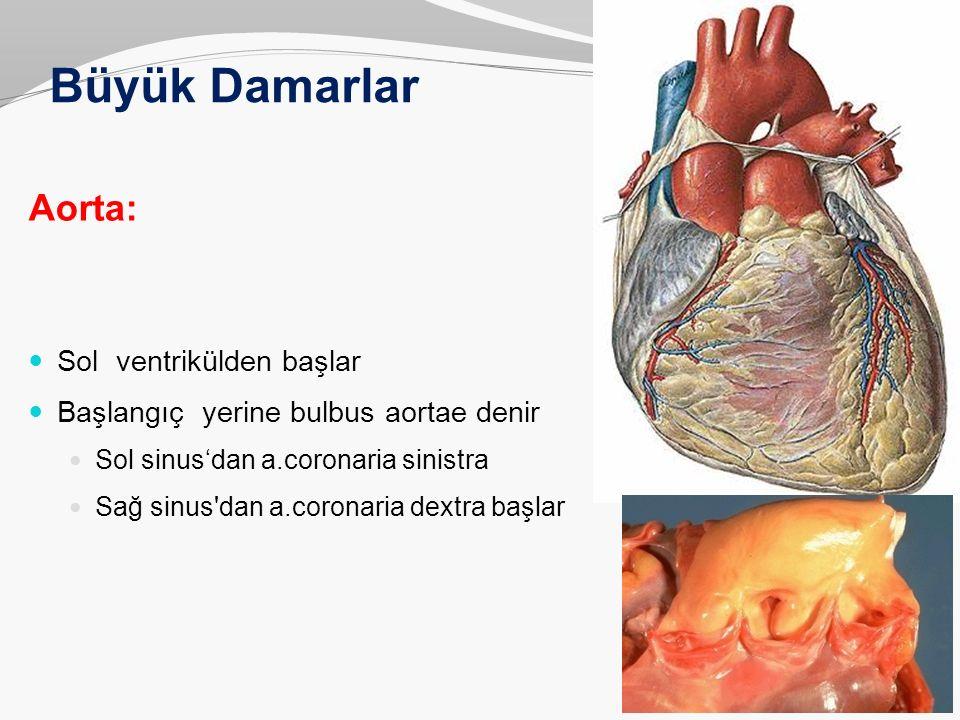 Büyük Damarlar Aorta: Sol ventrikülden başlar Başlangıç yerine bulbus aortae denir Sol sinus'dan a.coronaria sinistra Sağ sinus'dan a.coronaria dextra
