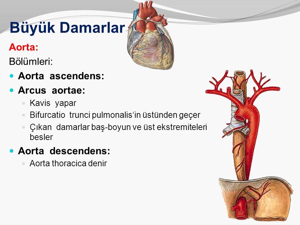 Büyük Damarlar Aorta: Bölümleri: Aorta ascendens: Arcus aortae: Kavis yapar Bifurcatio trunci pulmonalis'in üstünden geçer Çıkan damarlar baş-boyun ve