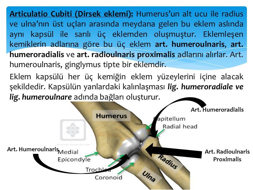 Articulatio Cubiti (Dirsek eklemi): Humerus'un alt ucu ile radius ve ulna'nın üst uçları arasında meydana gelen bu eklem aslında aynı kapsül ile sarıl