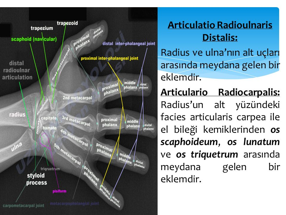 Articulatio Radioulnaris Distalis: Radius ve ulna'nın alt uçları arasında meydana gelen bir eklemdir. Articulario Radiocarpalis: Radius'un alt yüzünde