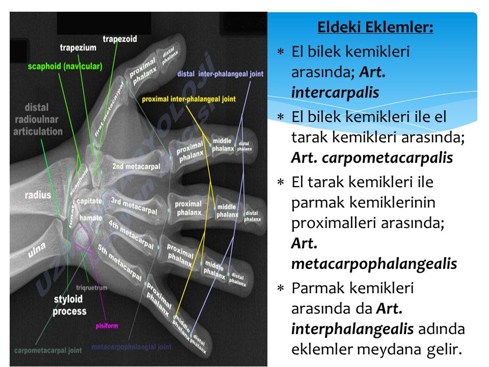 Eldeki Eklemler:  El bilek kemikleri arasında; Art. intercarpalis  El bilek kemikleri ile el tarak kemikleri arasında; Art. carpometacarpalis  El t