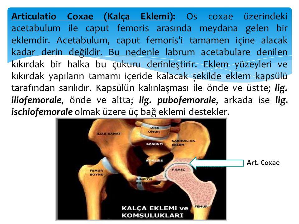 Articulatio Coxae (Kalça Eklemi): Os coxae üzerindeki acetabulum ile caput femoris arasında meydana gelen bir eklemdir. Acetabulum, caput femoris'i ta