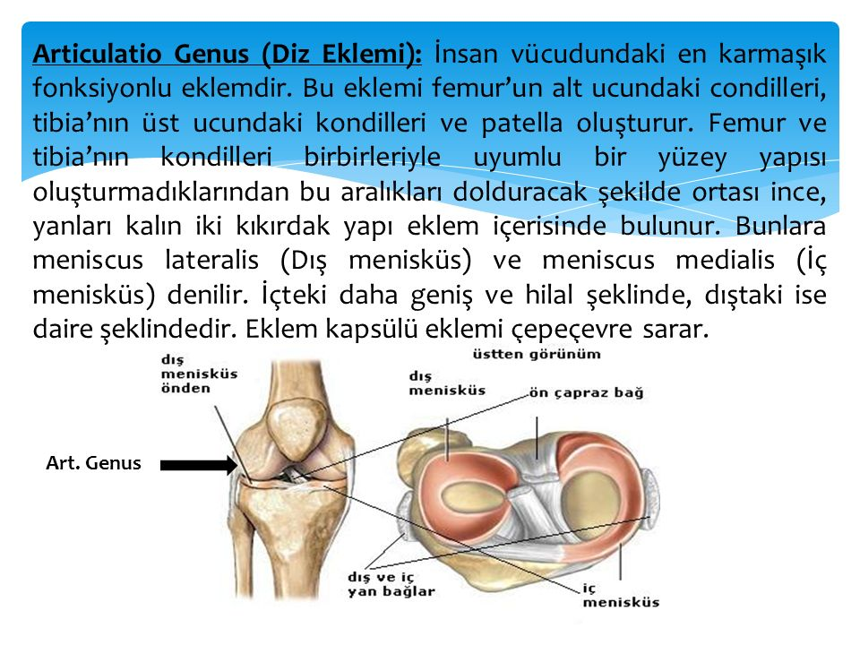 Articulatio Genus (Diz Eklemi): İnsan vücudundaki en karmaşık fonksiyonlu eklemdir. Bu eklemi femur'un alt ucundaki condilleri, tibia'nın üst ucundaki