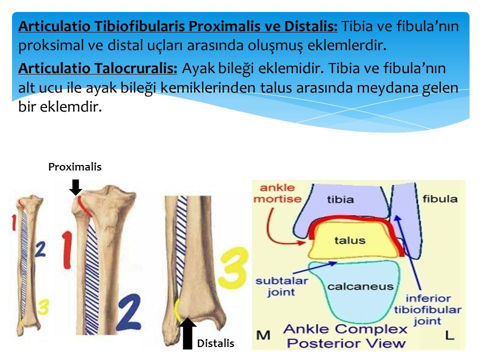 Articulatio Tibiofibularis Proximalis ve Distalis: Tibia ve fibula'nın proksimal ve distal uçları arasında oluşmuş eklemlerdir. Articulatio Talocrural