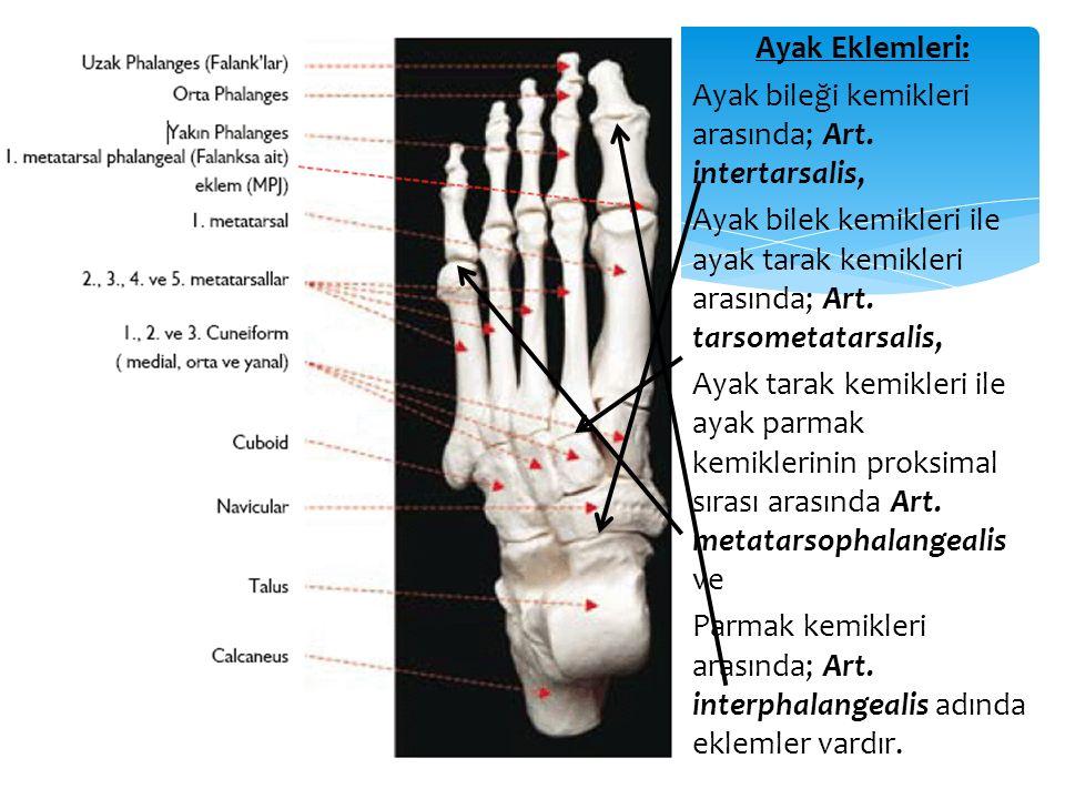 Ayak Eklemleri: Ayak bileği kemikleri arasında; Art. intertarsalis, Ayak bilek kemikleri ile ayak tarak kemikleri arasında; Art. tarsometatarsalis, Ay