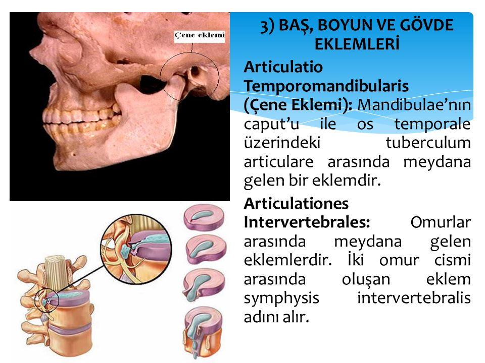 3) BAŞ, BOYUN VE GÖVDE EKLEMLERİ Articulatio Temporomandibularis (Çene Eklemi): Mandibulae'nın caput'u ile os temporale üzerindeki tuberculum articula