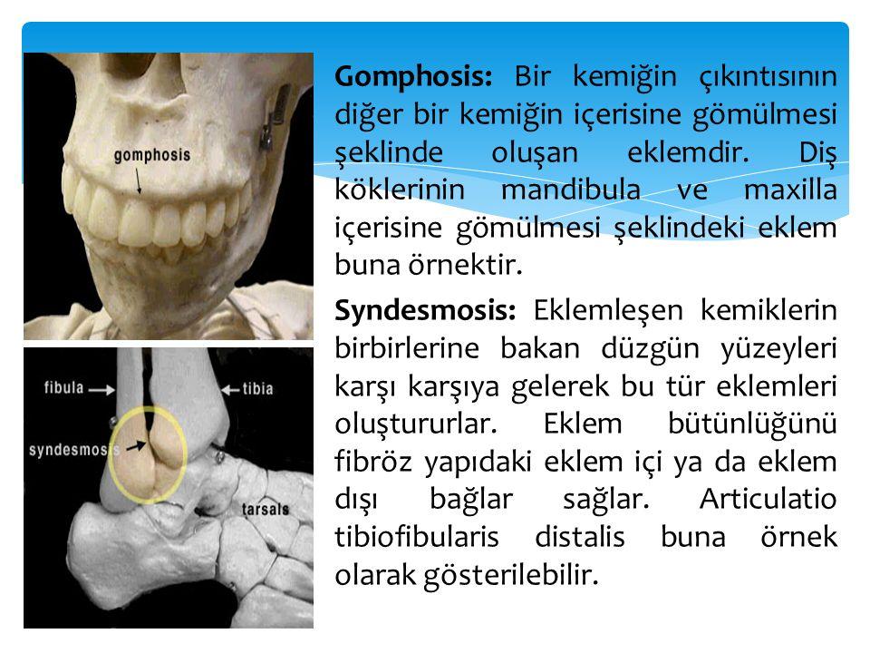 Gomphosis: Bir kemiğin çıkıntısının diğer bir kemiğin içerisine gömülmesi şeklinde oluşan eklemdir. Diş köklerinin mandibula ve maxilla içerisine gömü