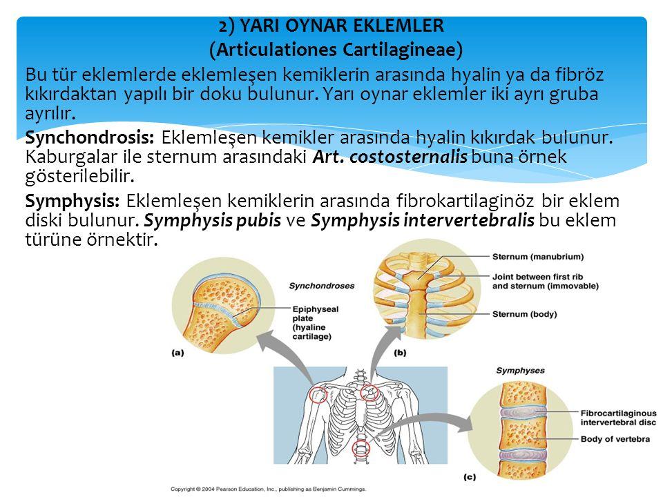 2) YARI OYNAR EKLEMLER (Articulationes Cartilagineae) Bu tür eklemlerde eklemleşen kemiklerin arasında hyalin ya da fibröz kıkırdaktan yapılı bir doku