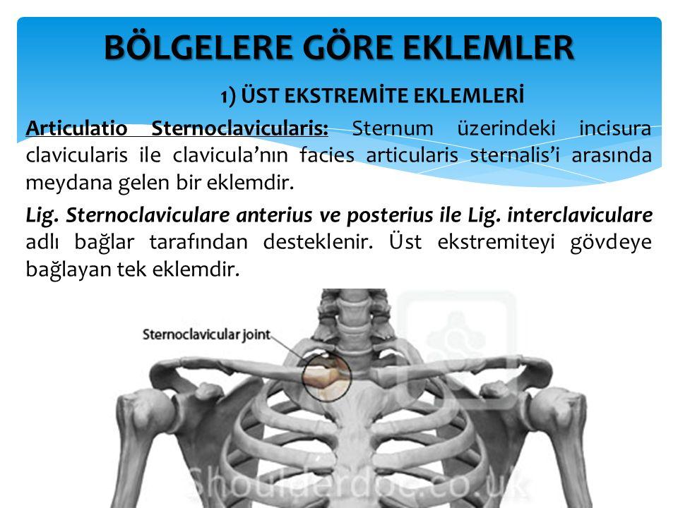 1) ÜST EKSTREMİTE EKLEMLERİ Articulatio Sternoclavicularis: Sternum üzerindeki incisura clavicularis ile clavicula'nın facies articularis sternalis'i