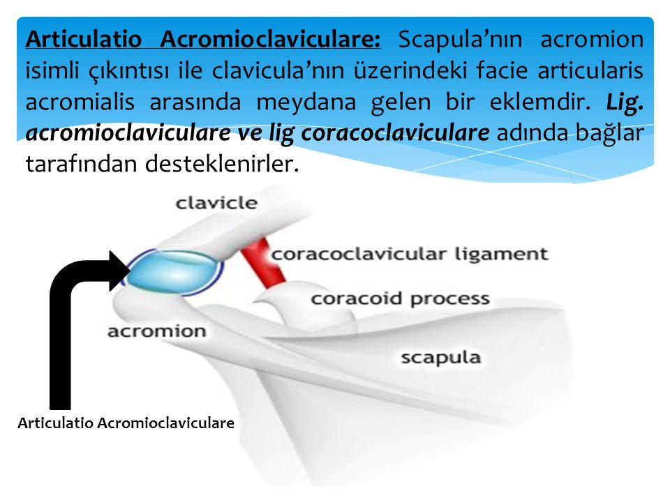 Articulatio Acromioclaviculare: Scapula'nın acromion isimli çıkıntısı ile clavicula'nın üzerindeki facie articularis acromialis arasında meydana gelen