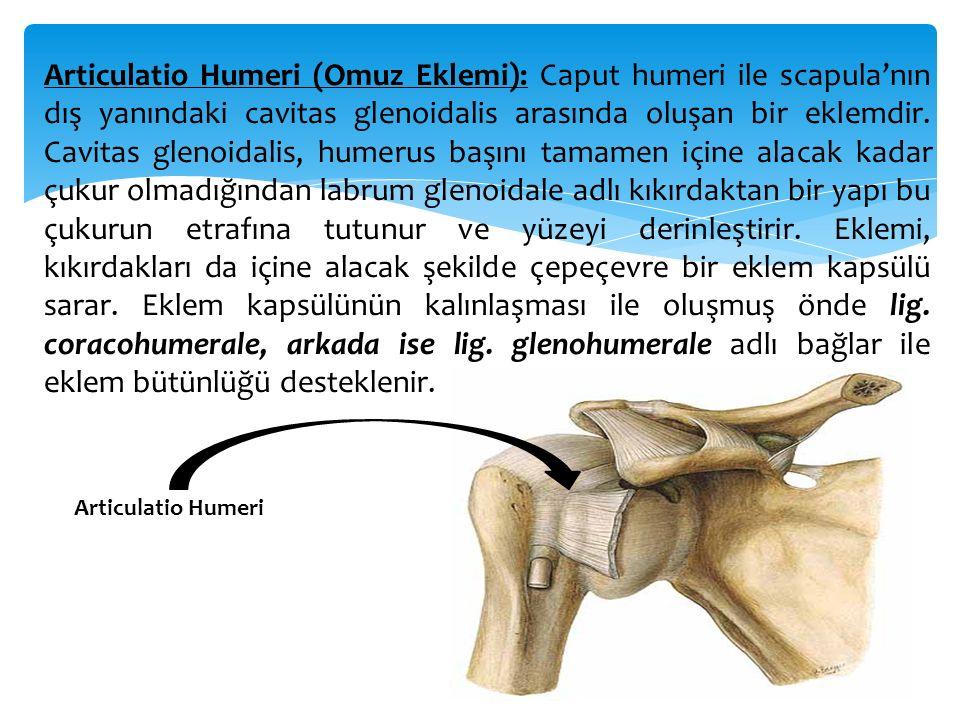 Articulatio Cubiti (Dirsek eklemi): Humerus'un alt ucu ile radius ve ulna'nın üst uçları arasında meydana gelen bu eklem aslında aynı kapsül ile sarılı üç eklemden oluşmuştur.