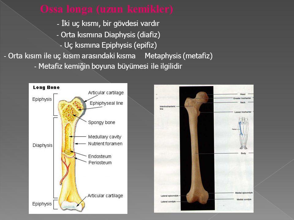 Ossa longa (uzun kemikler) - İki uç kısmı, bir gövdesi vardır - Orta kısmına Diaphysis (diafiz) - Uç kısmına Epiphysis (epifiz) - Orta kısım ile uç kısım arasındaki kısma Metaphysis (metafiz) - Metafiz kemiğin boyuna büyümesi ile ilgilidir