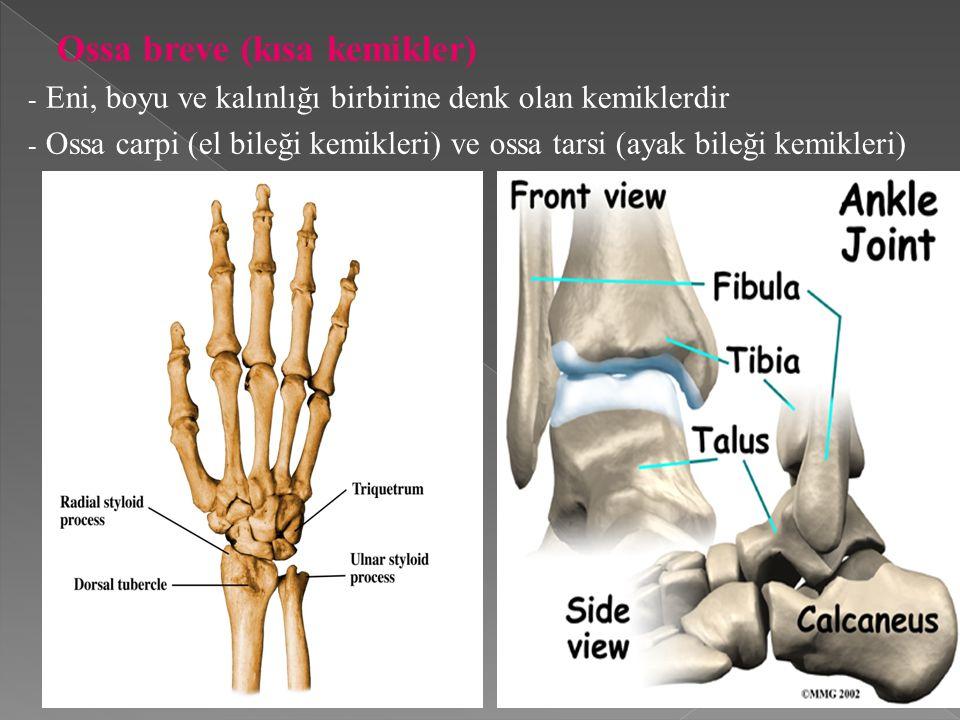 Ossa breve (kısa kemikler) - Eni, boyu ve kalınlığı birbirine denk olan kemiklerdir - Ossa carpi (el bileği kemikleri) ve ossa tarsi (ayak bileği kemikleri)