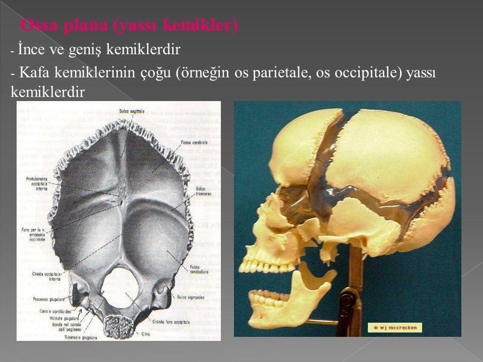 Ossa plana (yassı kemikler) - İnce ve geniş kemiklerdir - Kafa kemiklerinin çoğu (örneğin os parietale, os occipitale) yassı kemiklerdir