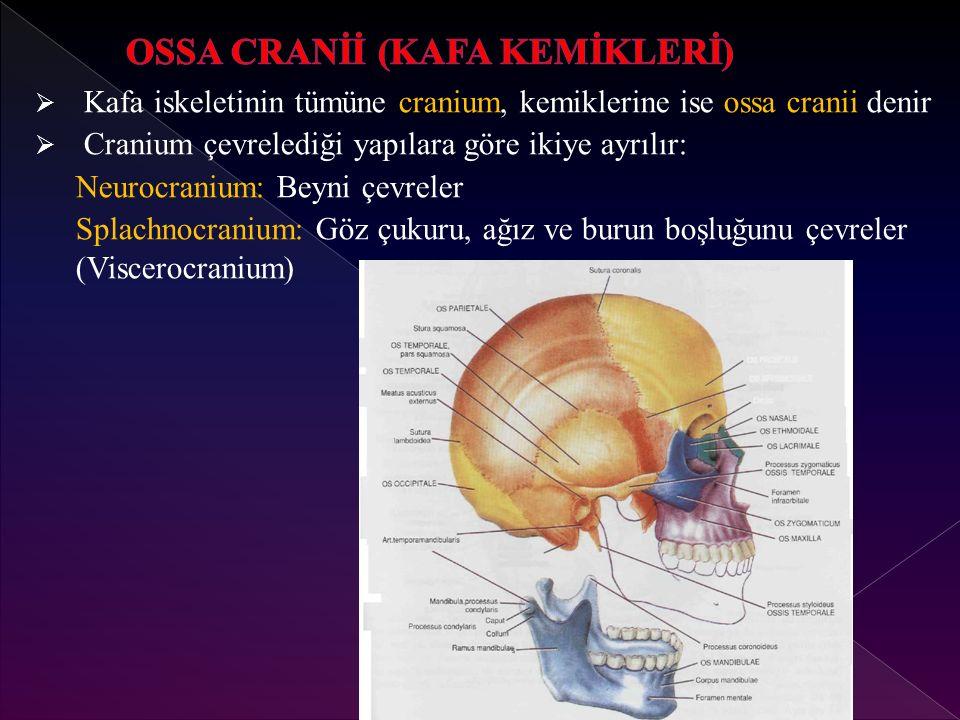  Kafa iskeletinin tümüne cranium, kemiklerine ise ossa cranii denir  Cranium çevrelediği yapılara göre ikiye ayrılır: Neurocranium: Beyni çevreler Splachnocranium: Göz çukuru, ağız ve burun boşluğunu çevreler (Viscerocranium)