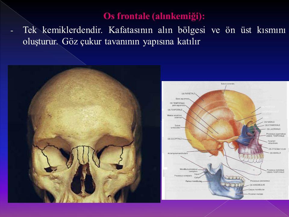 Os frontale (alınkemiği): - Tek kemiklerdendir.