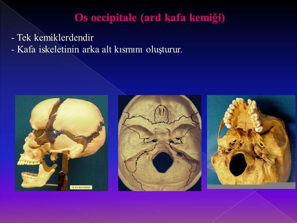 Os occipitale (ard kafa kemiği) - Tek kemiklerdendir - Kafa iskeletinin arka alt kısmını oluşturur.