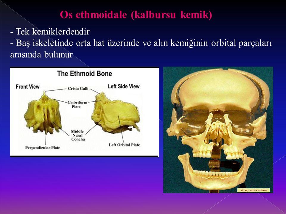 Os ethmoidale (kalbursu kemik) - Tek kemiklerdendir - Baş iskeletinde orta hat üzerinde ve alın kemiğinin orbital parçaları arasında bulunur