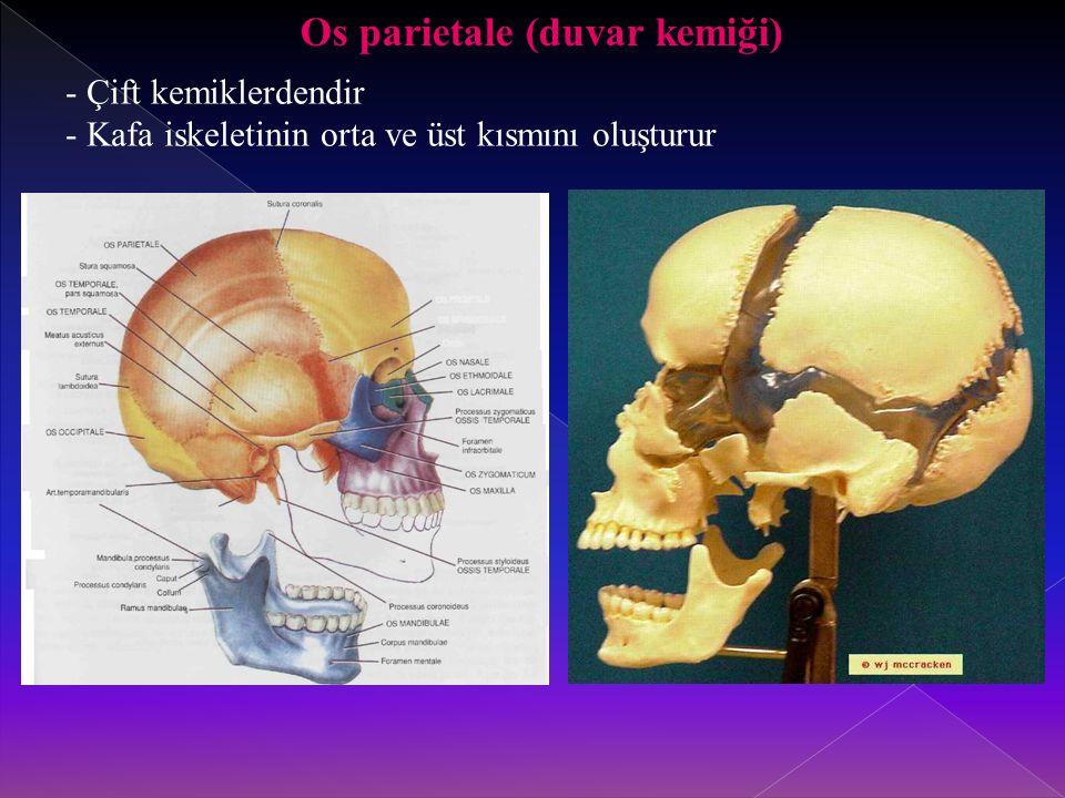 Os parietale (duvar kemiği) - Çift kemiklerdendir - Kafa iskeletinin orta ve üst kısmını oluşturur