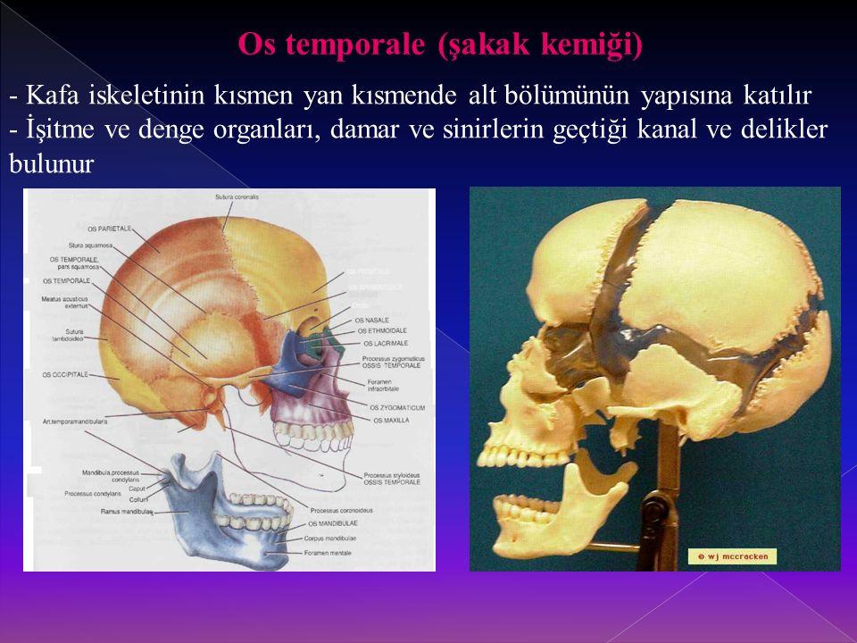 Os temporale (şakak kemiği) - Kafa iskeletinin kısmen yan kısmende alt bölümünün yapısına katılır - İşitme ve denge organları, damar ve sinirlerin geçtiği kanal ve delikler bulunur