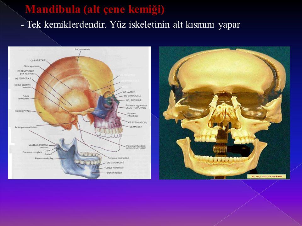 Mandibula (alt çene kemiği) - Tek kemiklerdendir. Yüz iskeletinin alt kısmını yapar