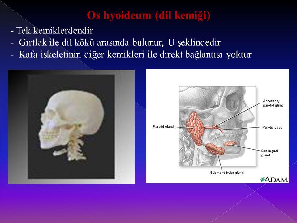 Os hyoideum (dil kemiği) - Tek kemiklerdendir - Gırtlak ile dil kökü arasında bulunur, U şeklindedir - Kafa iskeletinin diğer kemikleri ile direkt bağlantısı yoktur