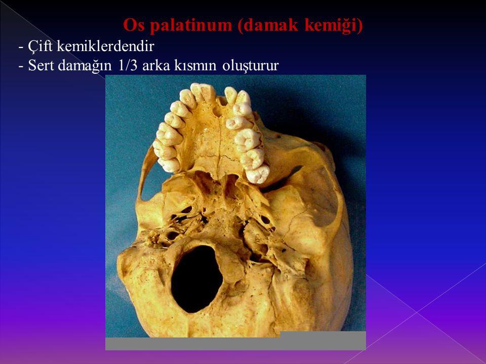 Os palatinum (damak kemiği) - Çift kemiklerdendir - Sert damağın 1/3 arka kısmın oluşturur