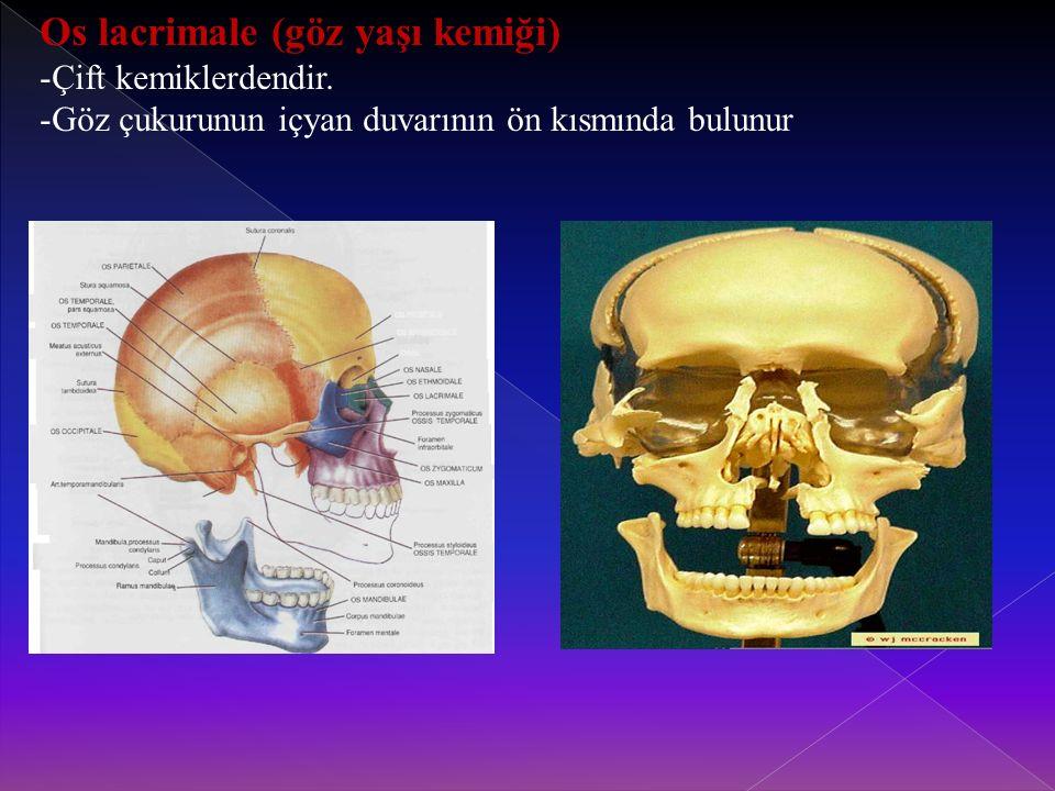 Os lacrimale (göz yaşı kemiği) -Çift kemiklerdendir.
