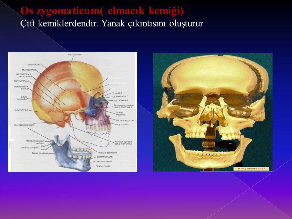 Os zygomaticum( elmacık kemiği) Çift kemiklerdendir. Yanak çıkıntısını oluşturur