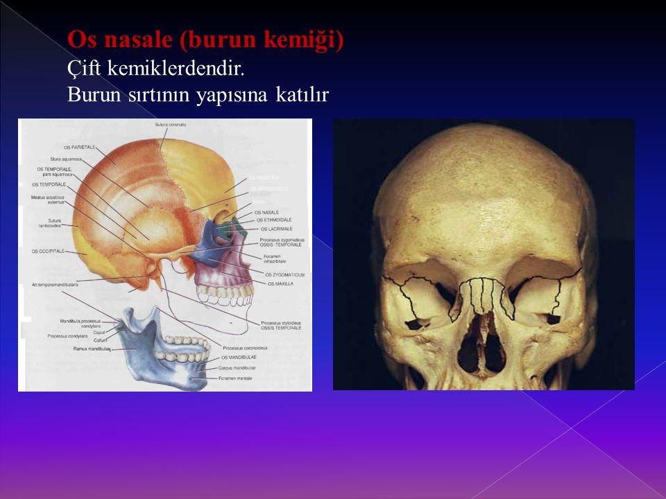 Os nasale (burun kemiği) Çift kemiklerdendir. Burun sırtının yapısına katılır