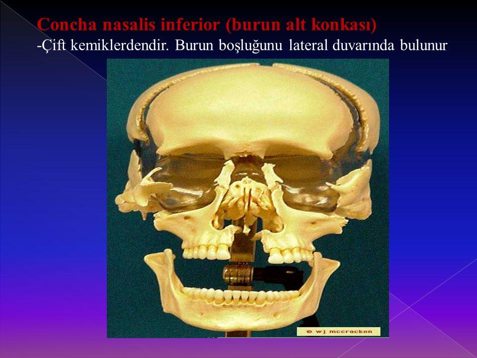 Concha nasalis inferior (burun alt konkası) -Çift kemiklerdendir.