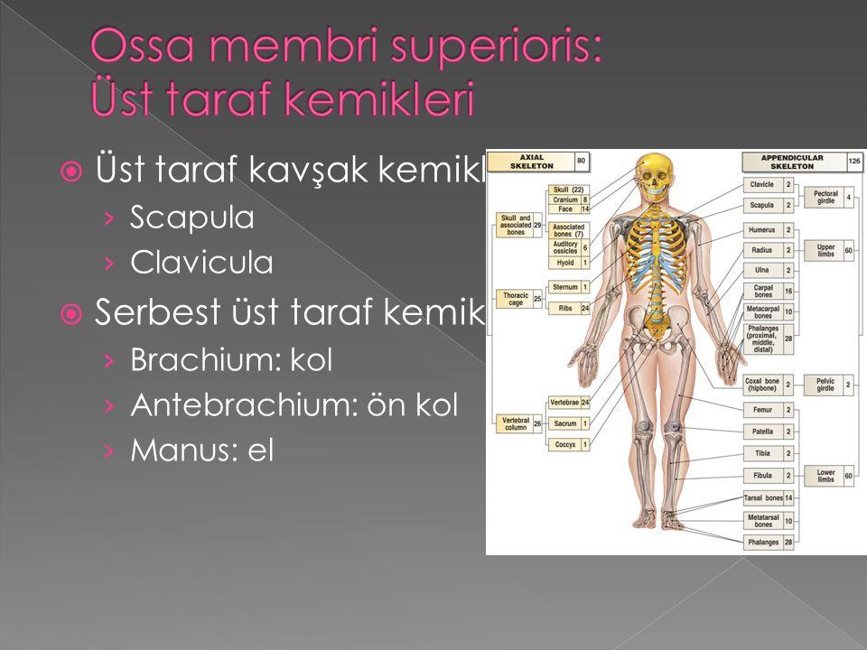  Üst taraf kavşak kemikleri:2 › Scapula › Clavicula  Serbest üst taraf kemikleri:30 › Brachium: kol › Antebrachium: ön kol › Manus: el