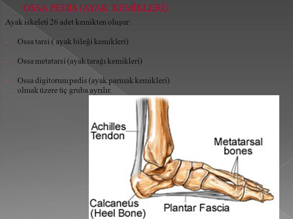 Ayak iskeleti 26 adet kemikten oluşur: - Ossa tarsi ( ayak bileği kemikleri) - Ossa metatarsi (ayak tarağı kemikleri) - Ossa digitorum pedis (ayak parmak kemikleri) olmak üzere üç gruba ayrılır.