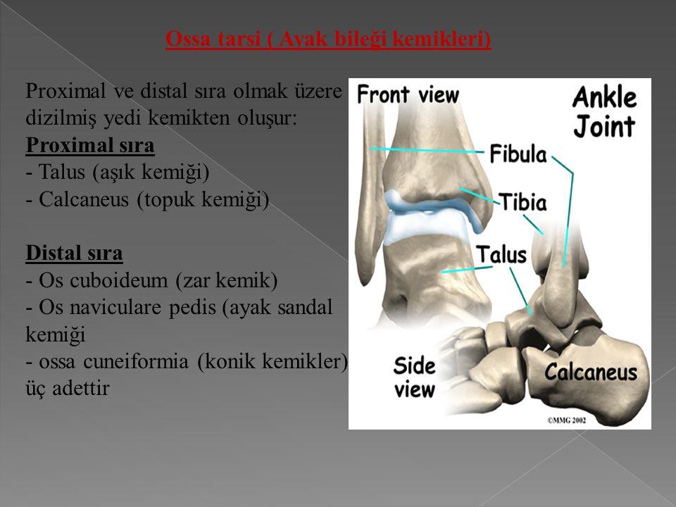Ossa tarsi ( Ayak bileği kemikleri) Proximal ve distal sıra olmak üzere dizilmiş yedi kemikten oluşur: Proximal sıra - Talus (aşık kemiği) - Calcaneus (topuk kemiği) Distal sıra - Os cuboideum (zar kemik) - Os naviculare pedis (ayak sandal kemiği - ossa cuneiformia (konik kemikler): üç adettir