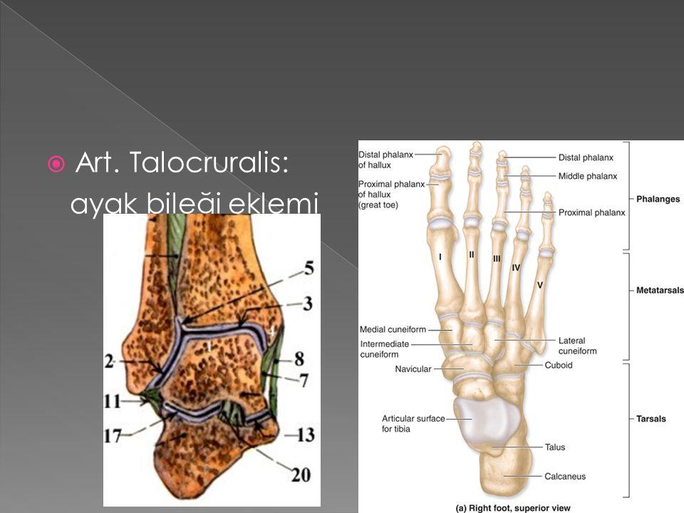  Art. Talocruralis: ayak bileği eklemi