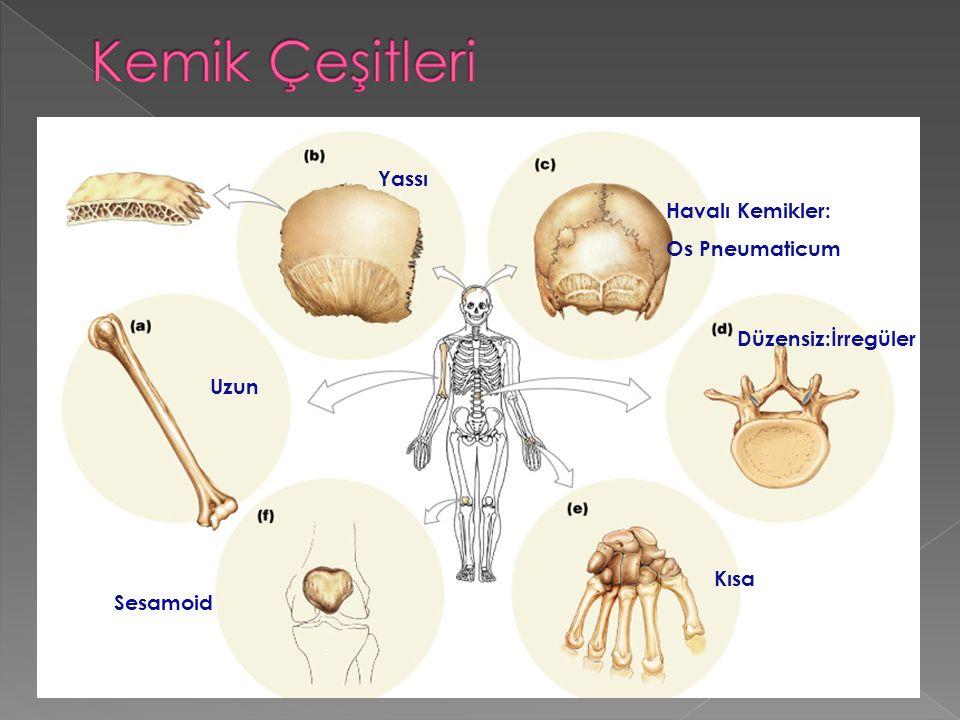 Uzun Kısa Yassı Düzensiz:İrregüler Sesamoid Havalı Kemikler: Os Pneumaticum