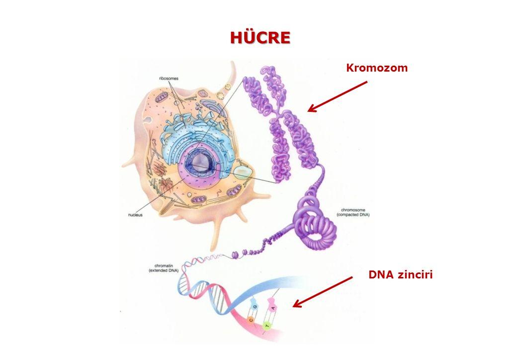 İNSAN KROMOZOMLARI 23 ç 23 çift Kromozomda Toplam ~3,08 milyar Baz (A-T, G-C) çiftinden oluşan 24457 Gen bulunuyor.