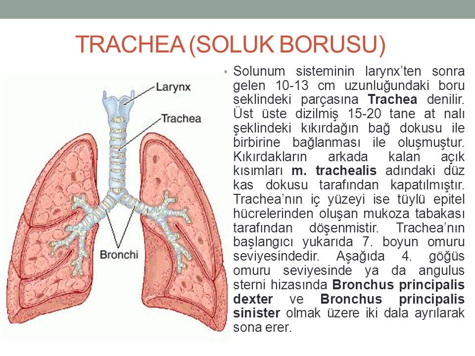 TRACHEA (SOLUK BORUSU) Solunum sisteminin larynx'ten sonra gelen 10-13 cm uzunluğundaki boru seklindeki parçasına Trachea denilir.