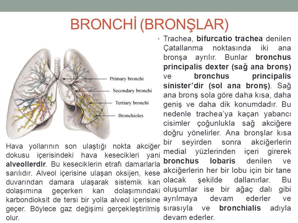 BRONCHİ (BRONŞLAR) Trachea, bifurcatio trachea denilen Çatallanma noktasında iki ana bronşa ayrılır.