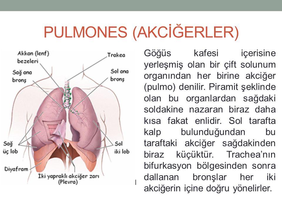 PULMONES (AKCİĞERLER) Göğüs kafesi içerisine yerleşmiş olan bir çift solunum organından her birine akciğer (pulmo) denilir.