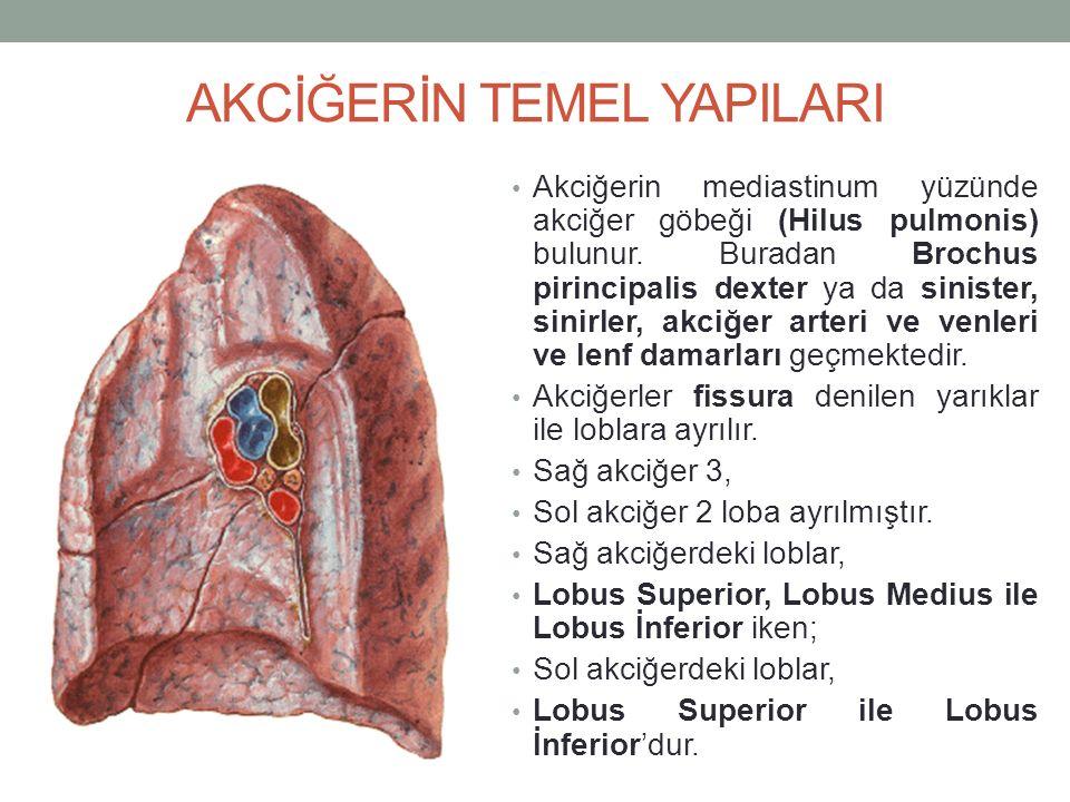 AKCİĞERİN TEMEL YAPILARI Akciğerin mediastinum yüzünde akciğer göbeği (Hilus pulmonis) bulunur.