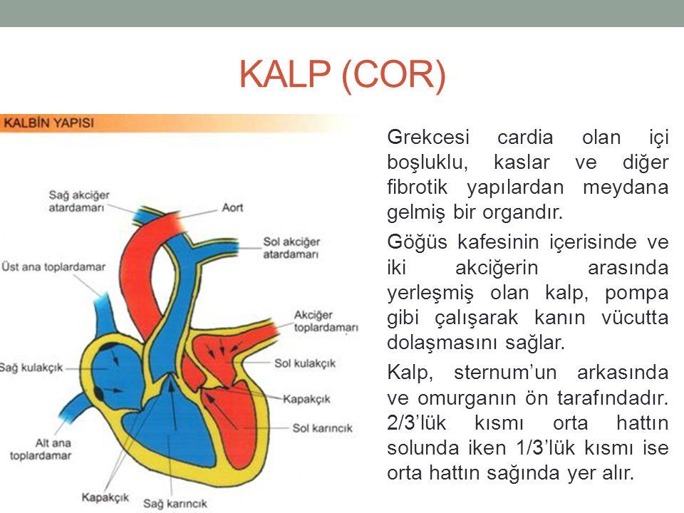 KALP (COR) Grekcesi cardia olan içi boşluklu, kaslar ve diğer fibrotik yapılardan meydana gelmiş bir organdır.
