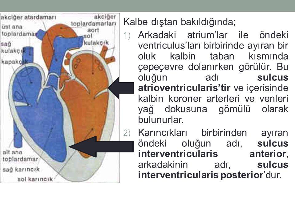 Kalbe dıştan bakıldığında; 1) Arkadaki atrium'lar ile öndeki ventriculus'ları birbirinde ayıran bir oluk kalbin taban kısmında çepeçevre dolanırken görülür.