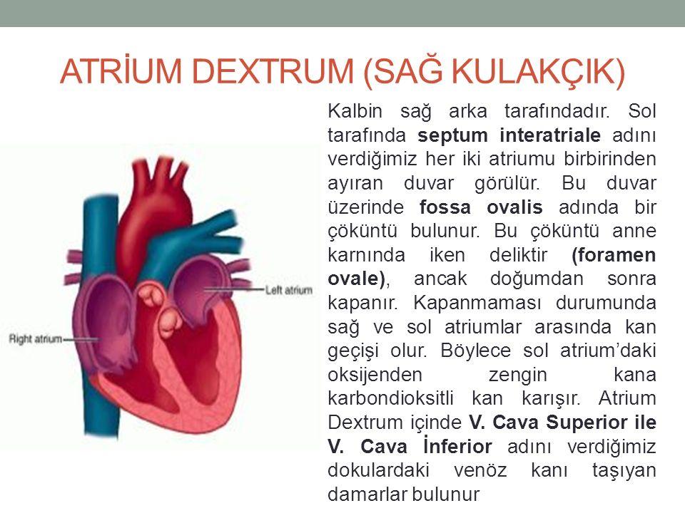 ATRİUM DEXTRUM (SAĞ KULAKÇIK) Kalbin sağ arka tarafındadır.