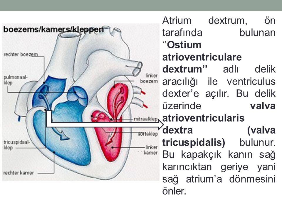 Atrium dextrum, ön tarafında bulunan ''Ostium atrioventriculare dextrum'' adlı delik aracılığı ile ventriculus dexter'e açılır.