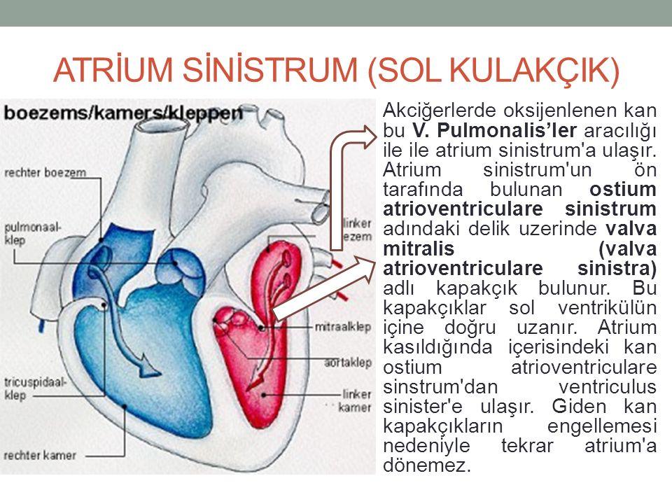 ATRİUM SİNİSTRUM (SOL KULAKÇIK) Akciğerlerde oksijenlenen kan bu V.